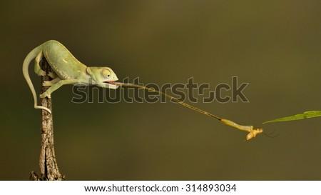 chameleon catching prey - stock photo