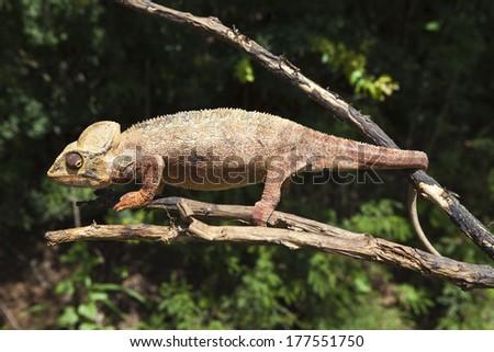 Chameleon, Chamaeleonidae, Madagascar, Africa - stock photo