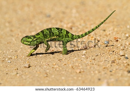 Chameleon Crossing a road in the Kruger National Park - stock photo