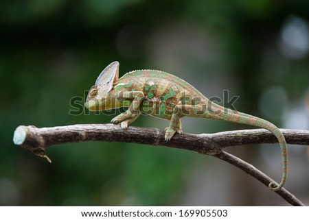 Chameleon dragon