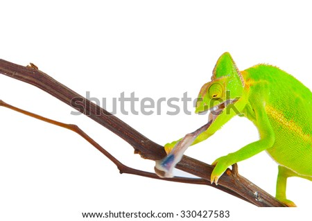 Chameleon hunting a cockroach on white background