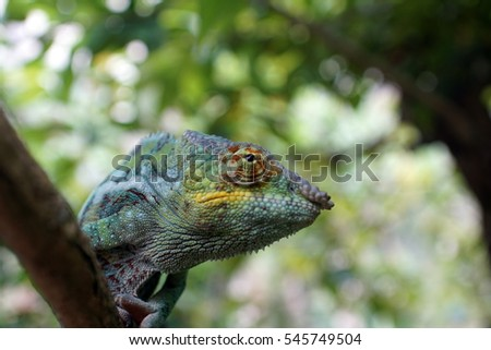 Chameleon in a tree, close up, near Andasibe, Madagascar