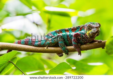 Chameleon in a zoo