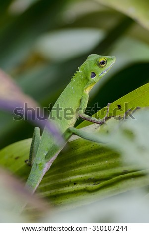 Chameleon in green bushes - Green chameleon on the branch with shallow DOF - stock photo