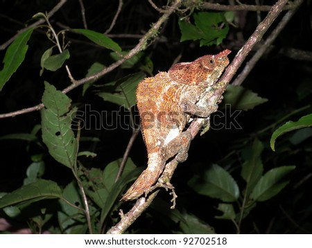 Chameleon in Madagascar - stock photo