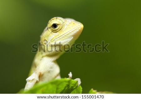 chameleon in Thailand - stock photo