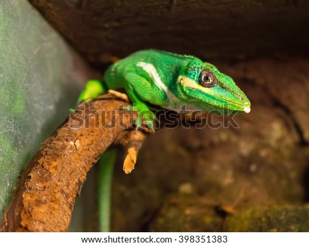 Chameleon is facing a tree branch