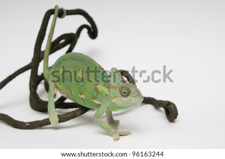 Chameleon is sitting on the branch on white background closeup