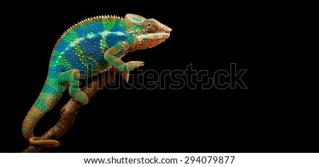 chameleon isolated on large black background