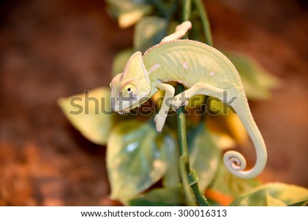 Chameleon on a plant stem