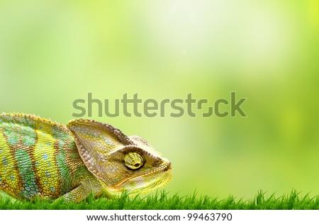 Chameleon on beautiful green grass - stock photo
