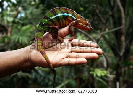 Chameleon on hand Multicolored chameleon on human hand - shot in natural environment, Madagascar - stock photo
