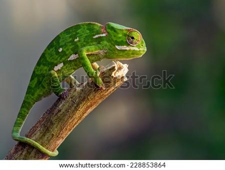 chameleon on stick - stock photo
