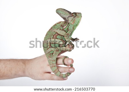 Chameleon on the hand with white background - stock photo