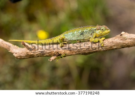 chameleon on twig in ruwenzori mountains, uganda