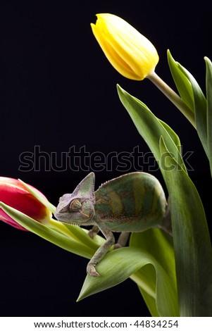 Chameleon & Tulip - stock photo