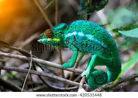 Chameleon with a twisted tail on a branch. - stock photo