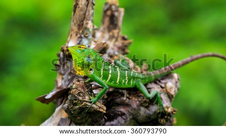 Chameleon with green head on a branch