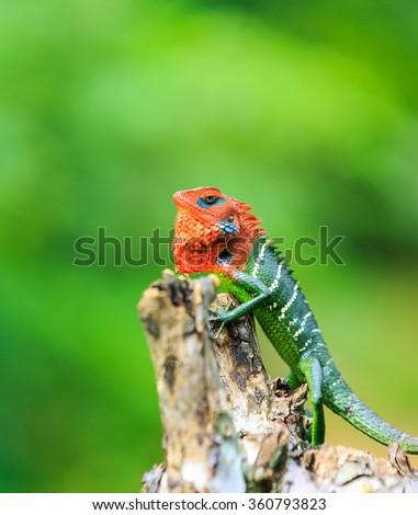 Chameleon with red head and green body on a branch