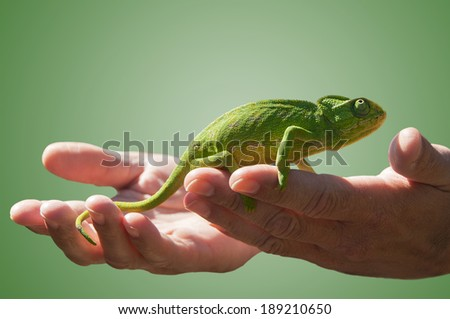 Chameleons are a family of lizards. Most can change the colour of their skins for camouflage.They are in extreme danger of extinction. - stock photo