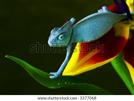 Chameleons belong to one of the best known lizard families. - stock photo