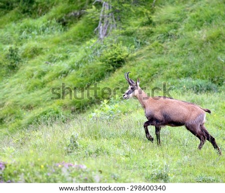 Chamois grazing meadows with tall grass in summer