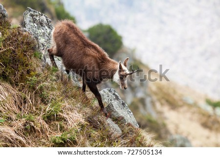Chamois in High Tatras National Park