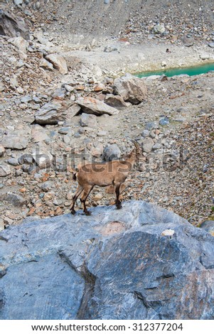 Chamois on the rock - stock photo