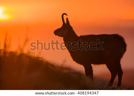 Chamois posing during beautiful sunrise in the mountains