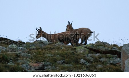 Chamois (Rupicapra rupicapra) in Valnontey, in the Gran Paradiso National Park