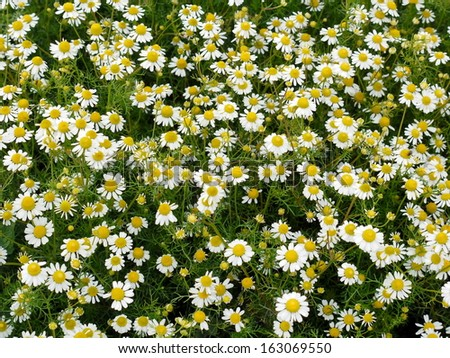 chamomile background - stock photo