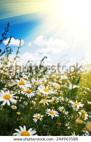 chamomile background - stock photo