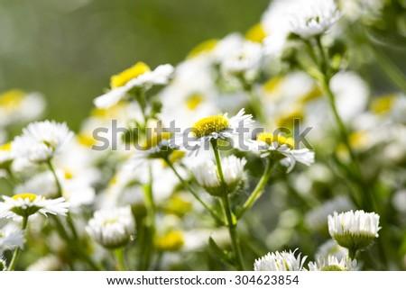 Chamomile beautiful - stock photo