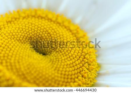 chamomile close-up - stock photo