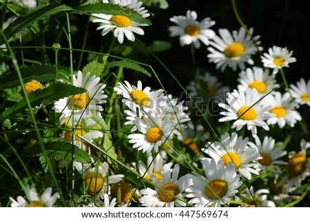 Chamomile field. Meadow of chamomile flowers of at sunlight. Natural summer background. - stock photo
