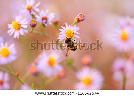 Chamomile Flower and Bee taken pollen Summer colorful background - stock photo