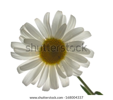 chamomile flower isolated