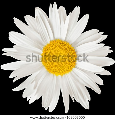 chamomile flower isolated on black background with clipping path - stock photo