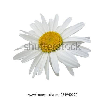 Chamomile flower isolated on white background - stock photo