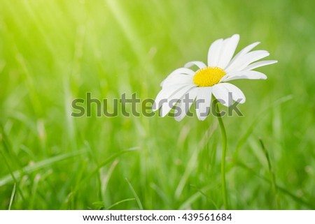 Chamomile flower on grass field on sunny summer day. View with copy space - stock photo