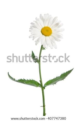 chamomile flower on white background - stock photo