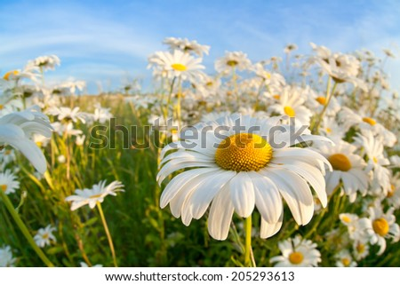 chamomile flower over blue sky close up