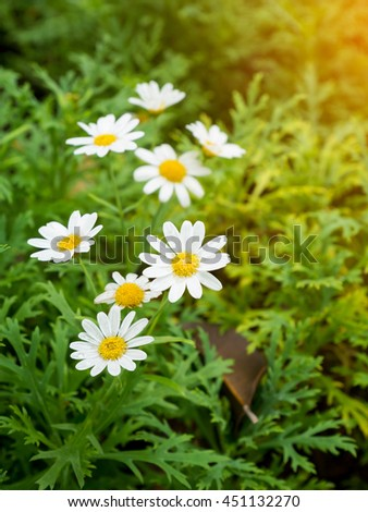 chamomile flower white color - stock photo