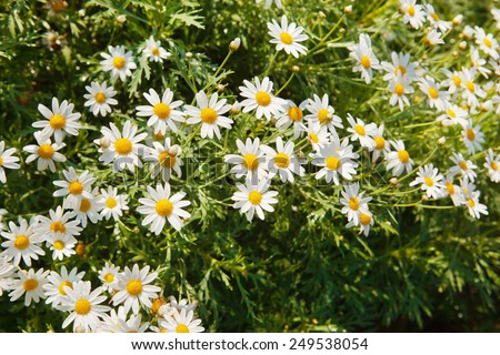 Chamomile flower with water drop in garden - stock photo
