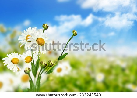 chamomile flowers and blue sky with clouds - stock photo
