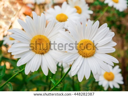 Chamomile flowers close up in summer, blossom, blurred background