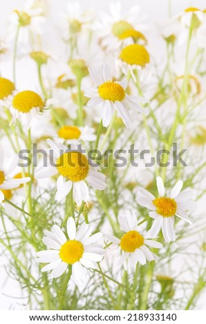 Chamomile flowers in garden, close up view, shallow depth of field - stock photo