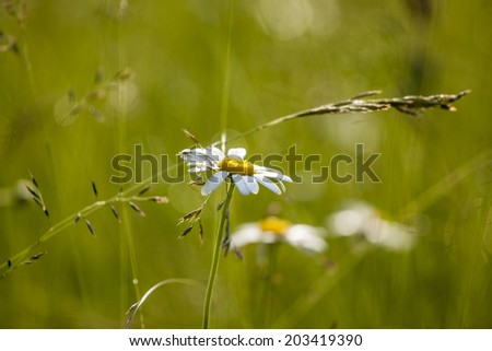 Chamomile flowers in meadow - stock photo
