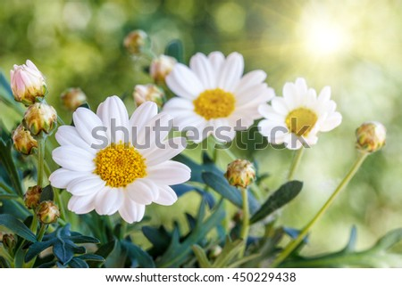 Chamomile flowers  in summer, blurred background