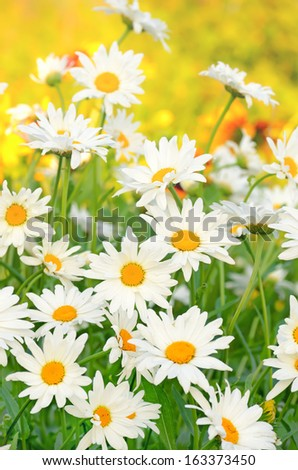 Chamomile flowers in the garden, close up view, selective focus - stock photo